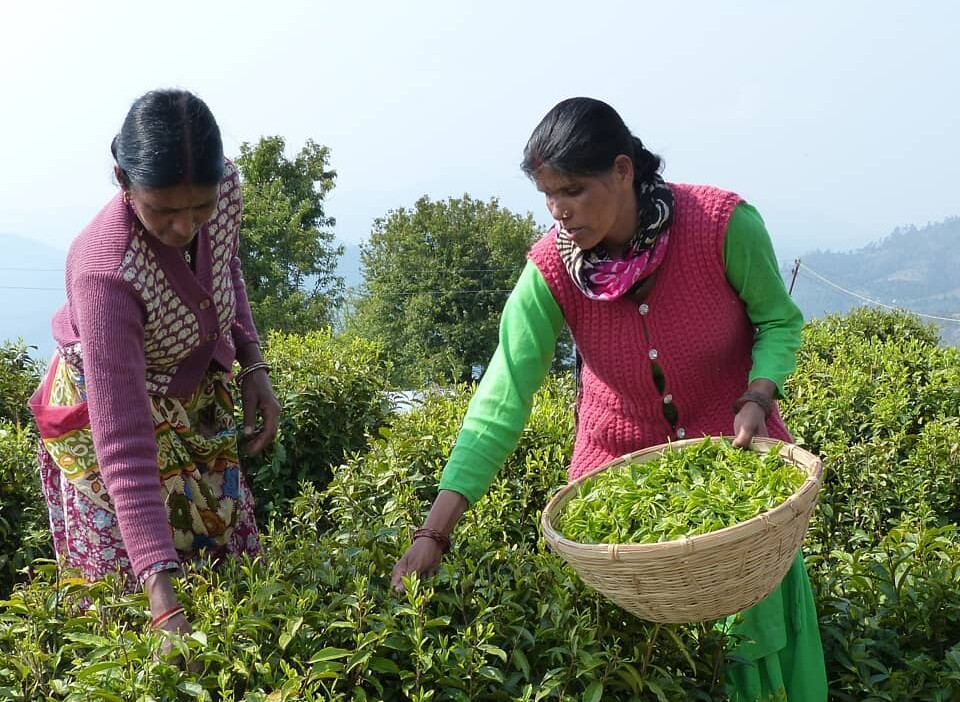 Picking tea leaves at Naari Heritage Tea Garden, Chaukori.